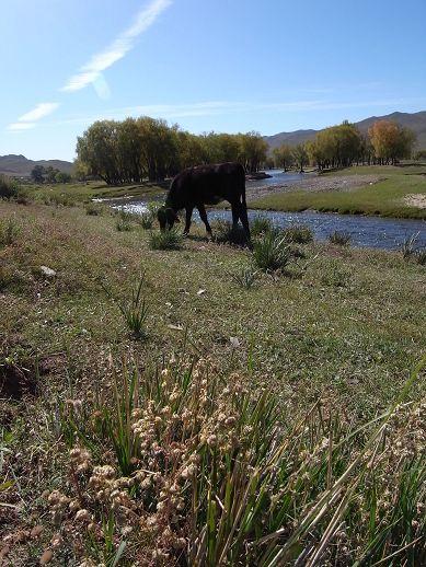 河畔的牛兒在吃草