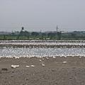 雲林鴨子養殖場