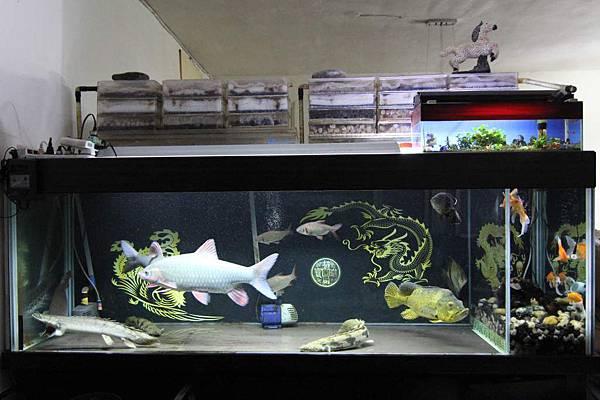 魚缸七呎_150404.JPG