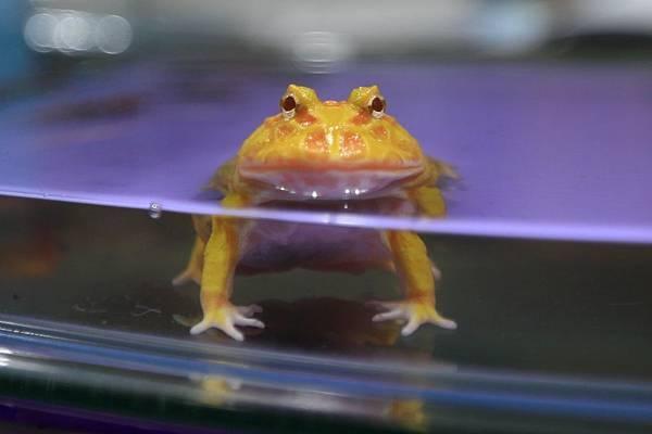 黃金角蛙_160405 (15).JPG