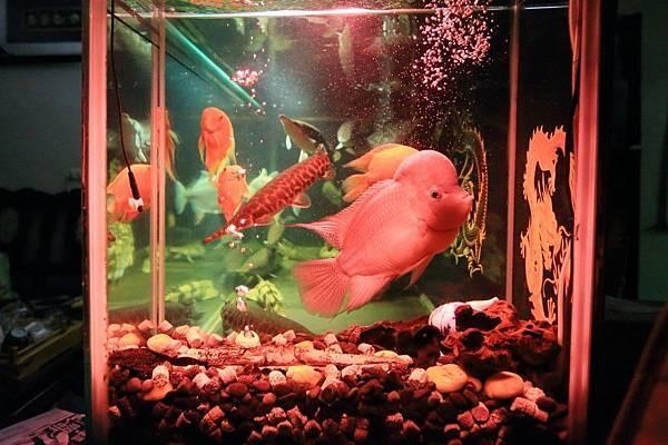 魚缸七呎_161109 (2).JPG