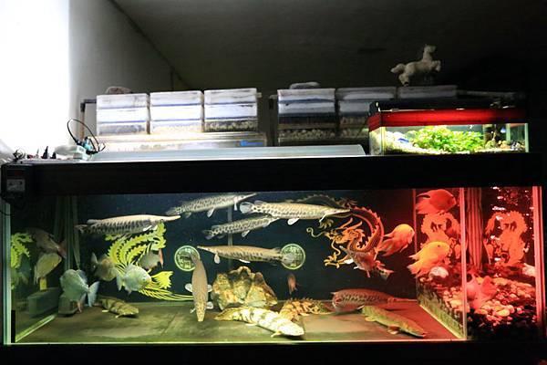 魚缸七呎_161109 (1).JPG