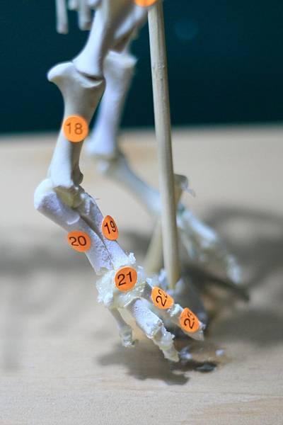 骨骼 (16).JPG