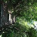 棲蘭森林遊樂區 (12).JPG