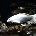 白金蝴蝶龍鯉 (10).JPG