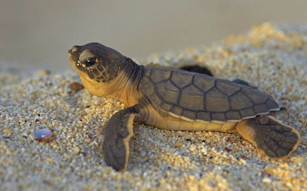 Baby-Sea-Turtle-Sands-Animals-Wallpaper-821721011 (1).jpg