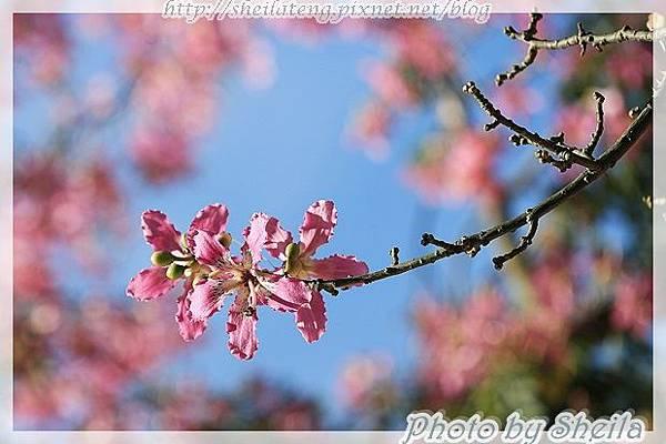 竹北美人樹11.JPG