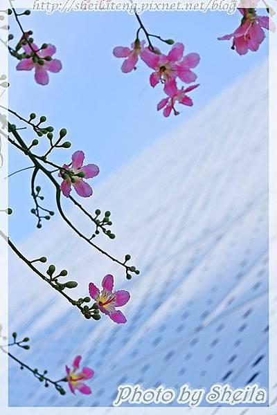 竹北美人樹16.JPG