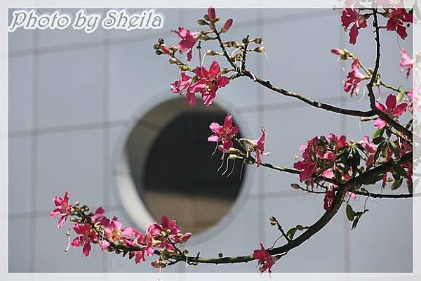 竹北美人樹21.JPG