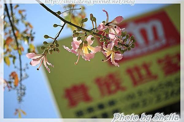 竹北美人樹30.JPG