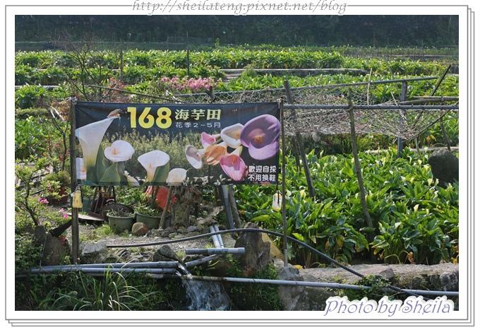 竹子湖海芋7.JPG