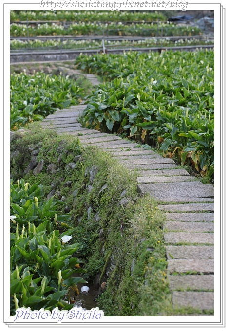 竹子湖海芋6.JPG