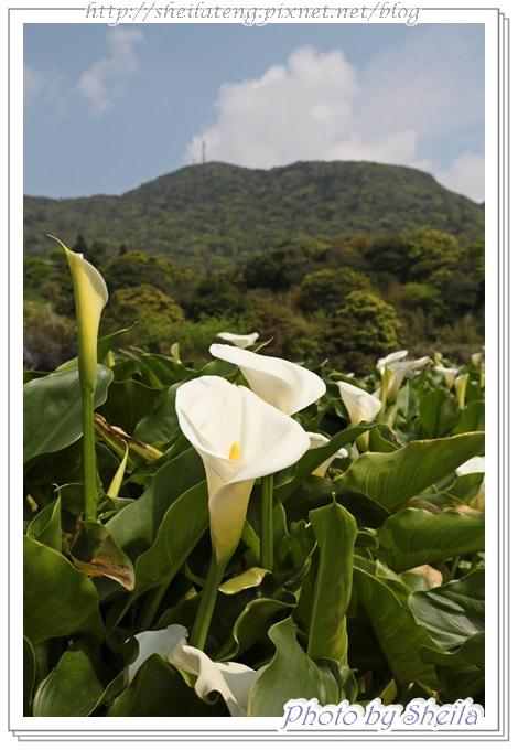 竹子湖海芋20.JPG