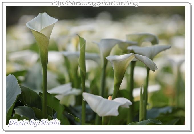 竹子湖海芋21.jpg