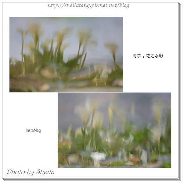 竹子湖海芋35.jpg