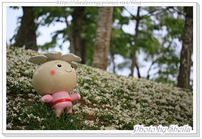 油桐花12.JPG