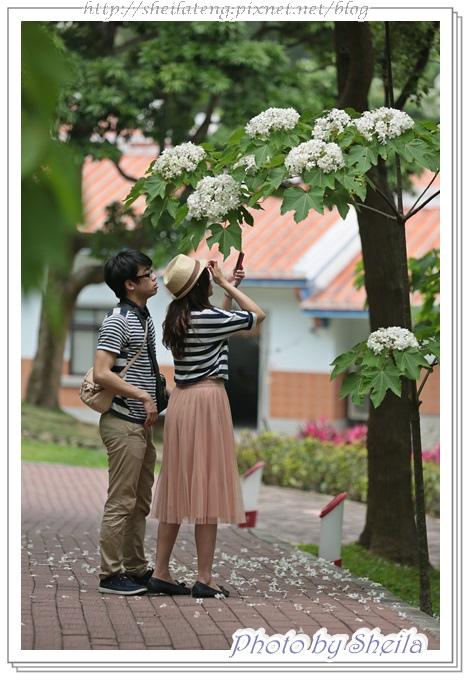 油桐花49.JPG