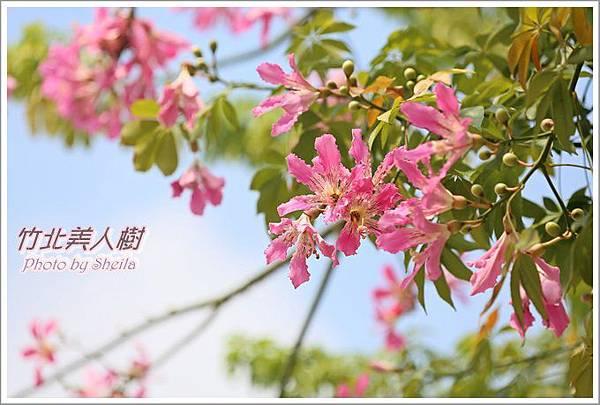 美人樹blog1.JPG