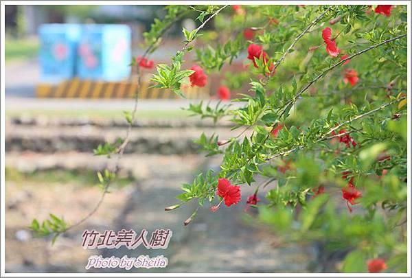 美人樹blog4.JPG
