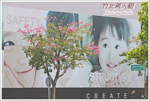 美人樹blog22.JPG