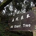 左邊斷樹是5號神木區.jpg