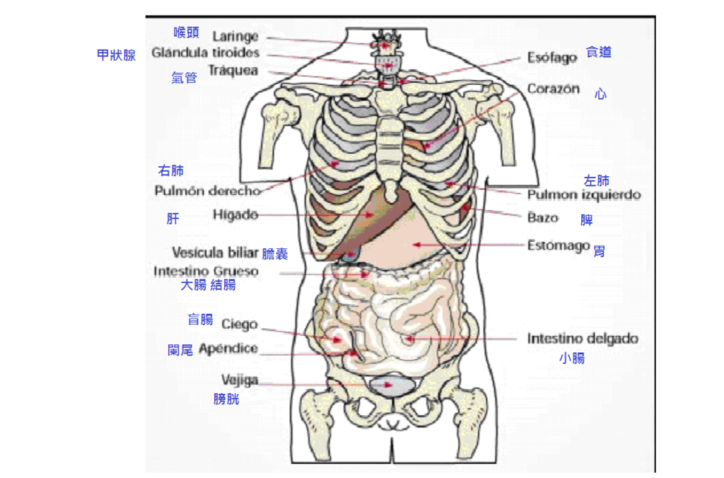 內臟.jpg