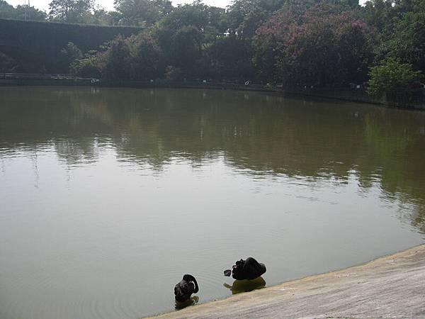 湖裡面的天鵝