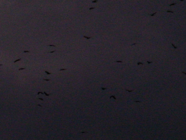日本真的很多烏鴉