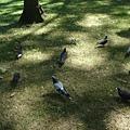 好多鴿子...讓我想到電影小鬼當家