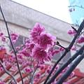 原來這裡也有櫻花