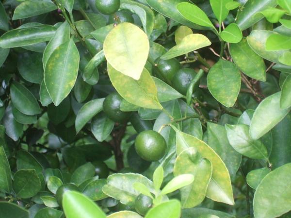 苦橙葉.JPG