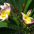 花園裡的緬梔花