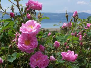 Aromahead Rose sm