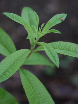 lemon verbena2 sm