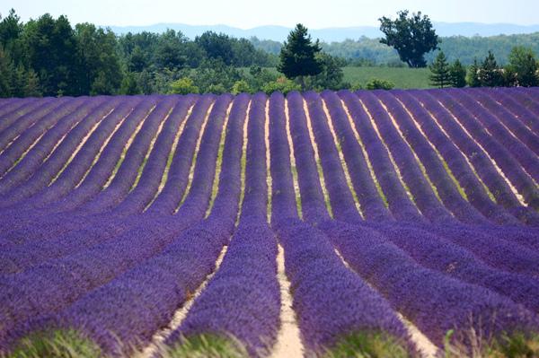 Aromahead Lavender Field France med