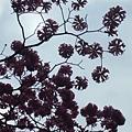 風鈴木~繖形花序
