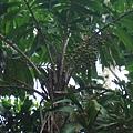 刺孔雀椰子