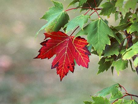 maple-tree-leaf