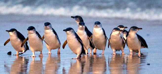 Penguin Parade_01