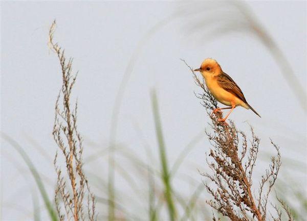 黃頭扇尾鶯雄成鳥夏羽