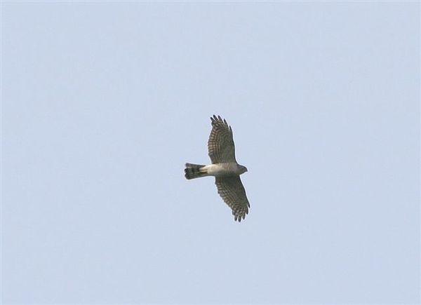 日本松雀鷹雌鳥.jpg