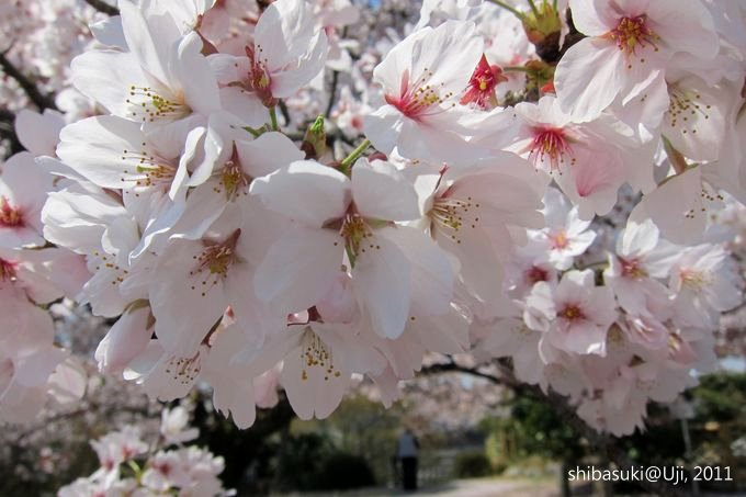 20110412_Kyoto-87_宇治 橋寺放生院_1.JPG
