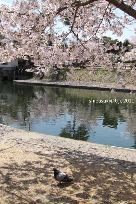 20110412_Kyoto-137_宇治 中之島_1.JPG