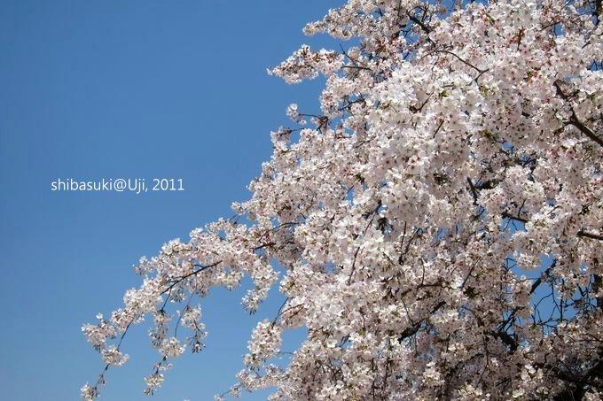 20110412_Kyoto-147_宇治 中之島_1.JPG