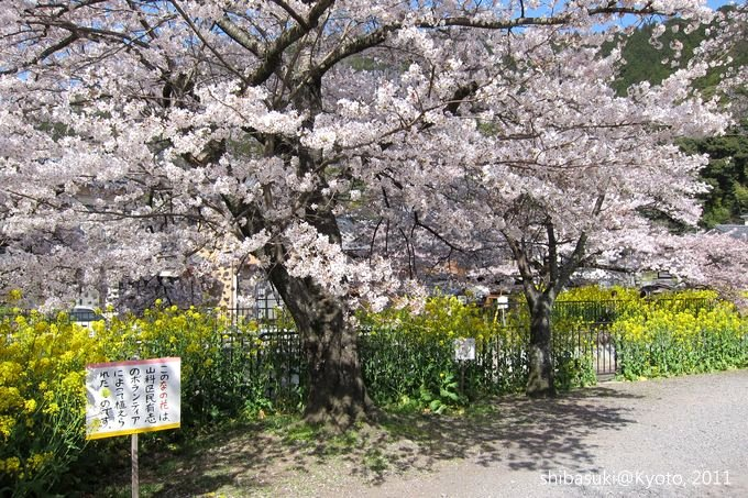 20110412_Kyoto-244_山科疏水道_1.JPG