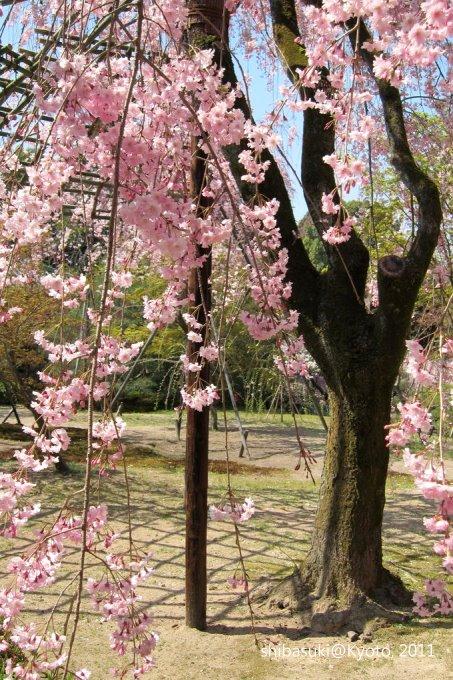 20110414_Kyoto-40_平安神宮 神苑_1.JPG