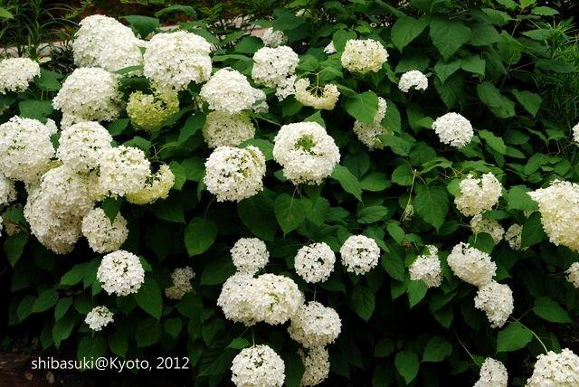 20120628_Kyoto-214_三室戶寺_1