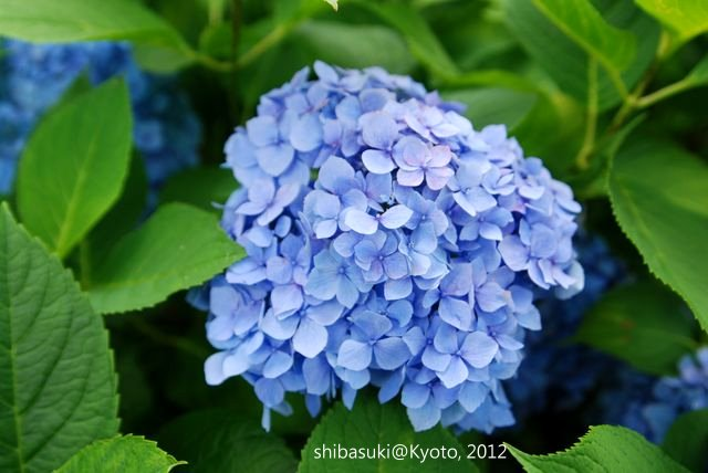 20120628_Kyoto-234_三室戶寺_1