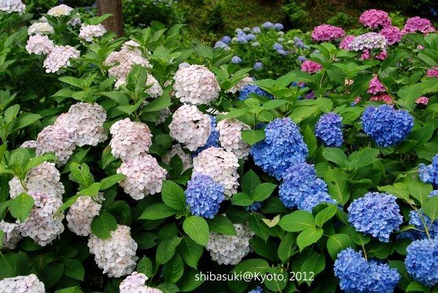 20120628_Kyoto-257_三室戶寺_1
