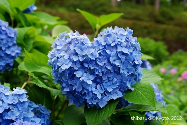 20120628_Kyoto-283_三室戶寺_1